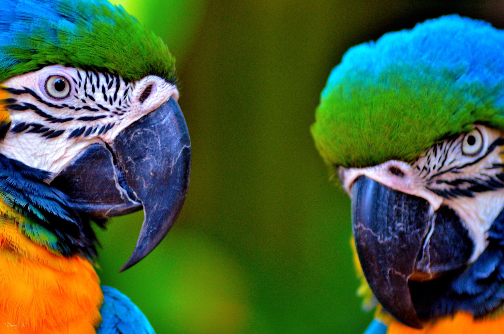 Perroquet Iguaçu, voyage au brésil